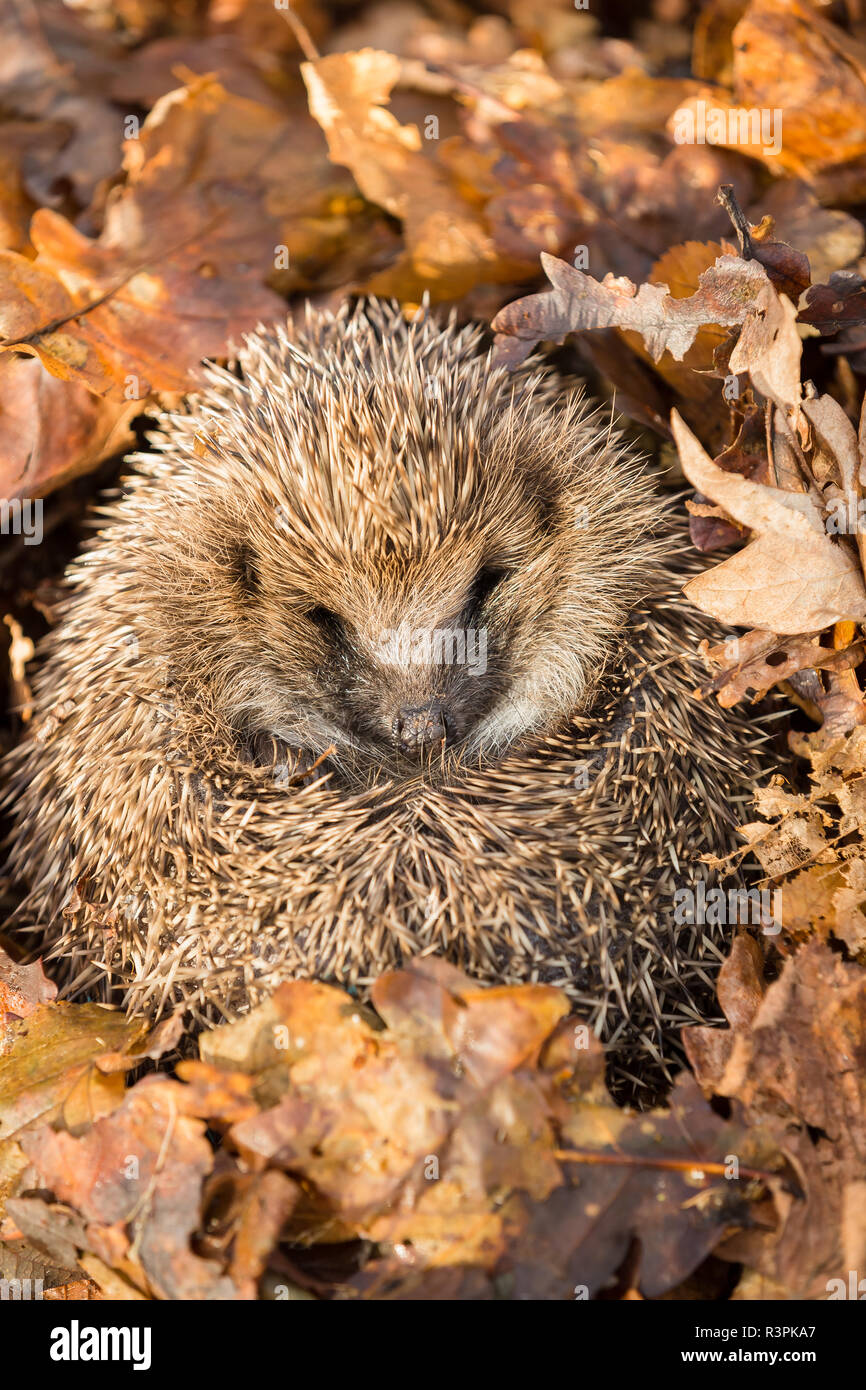 Hedgehog, wild, native, European hedgehog in natural woodland habitat and hibernating in golden Autumn or fall leaves.  Scientific name: Erinaceus - Stock Image