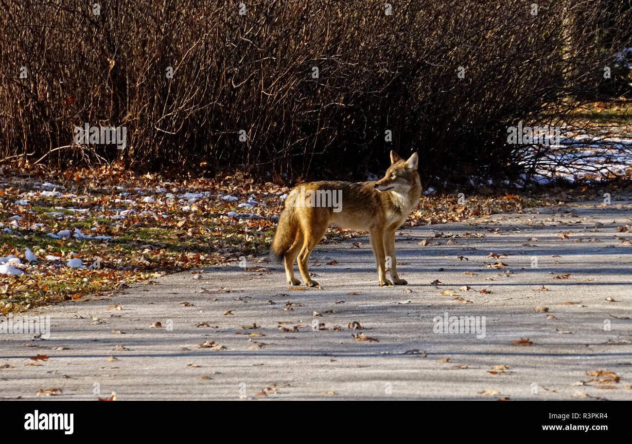 Coyote a mature female animal on road in urban green space in Toronto, Ontario, Canada Stock Photo