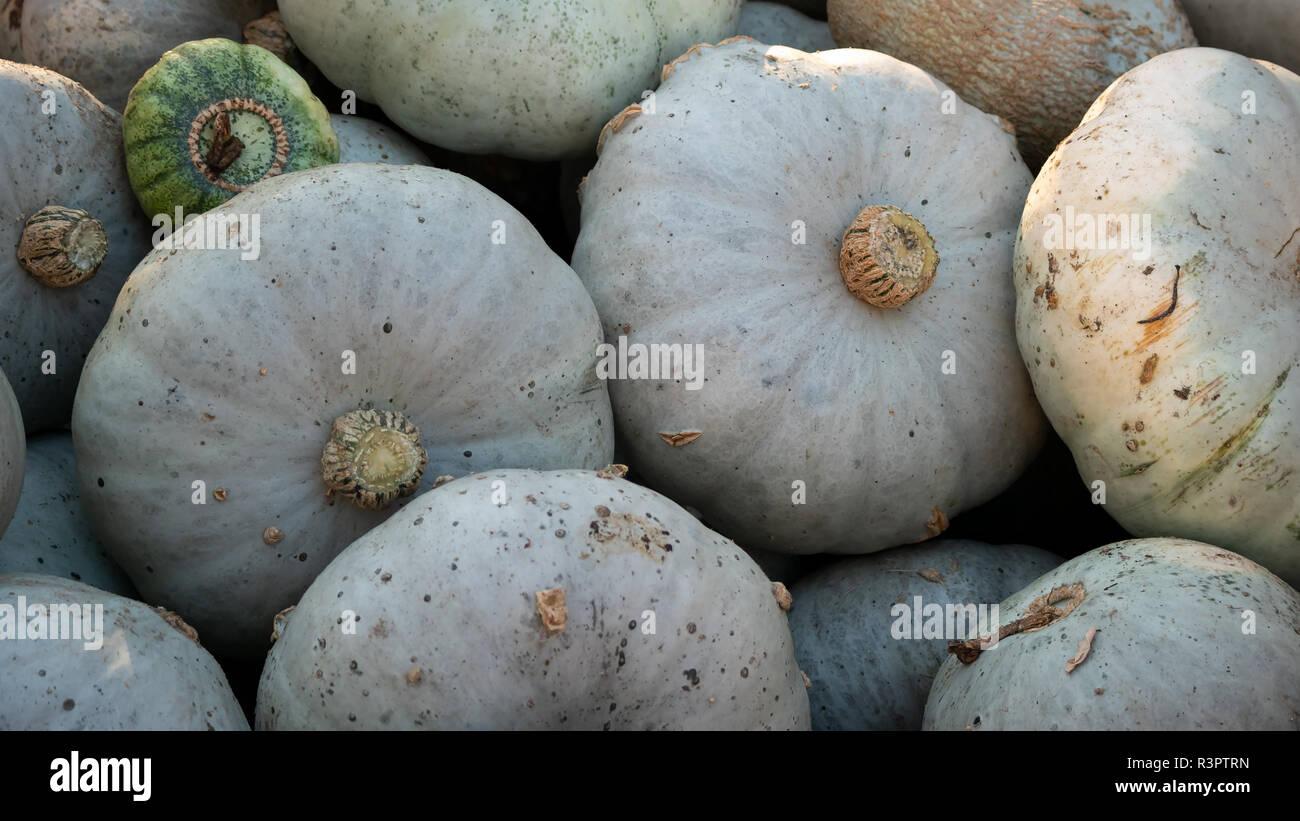 Harvest: Heap of Blue Kuri Hokkaido Pumpkin, Cucurbita maxima Stock Photo