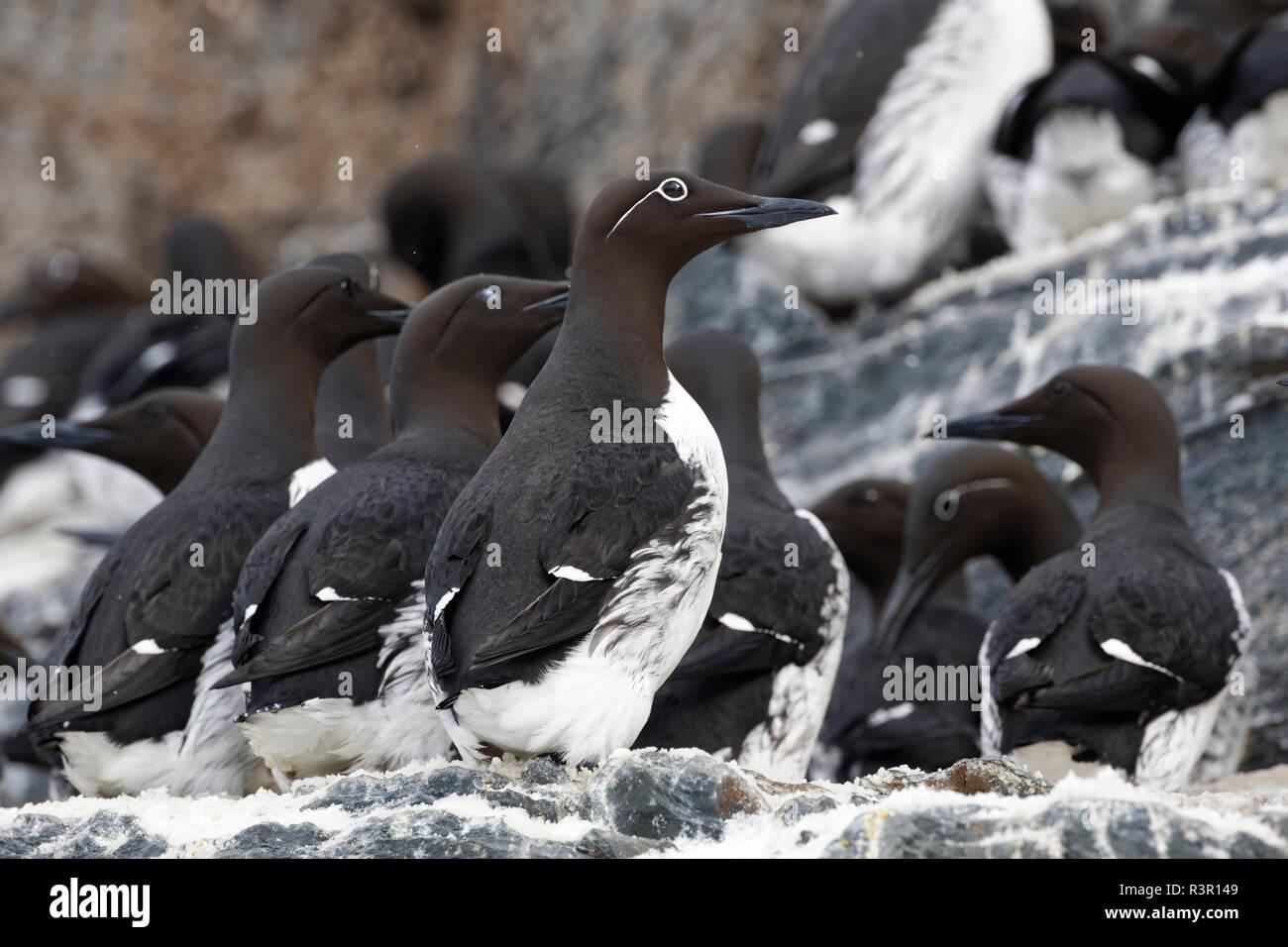 Common Guillemots (Uria aalge) on Hornoya Island, Varanger, Norway Stock Photo