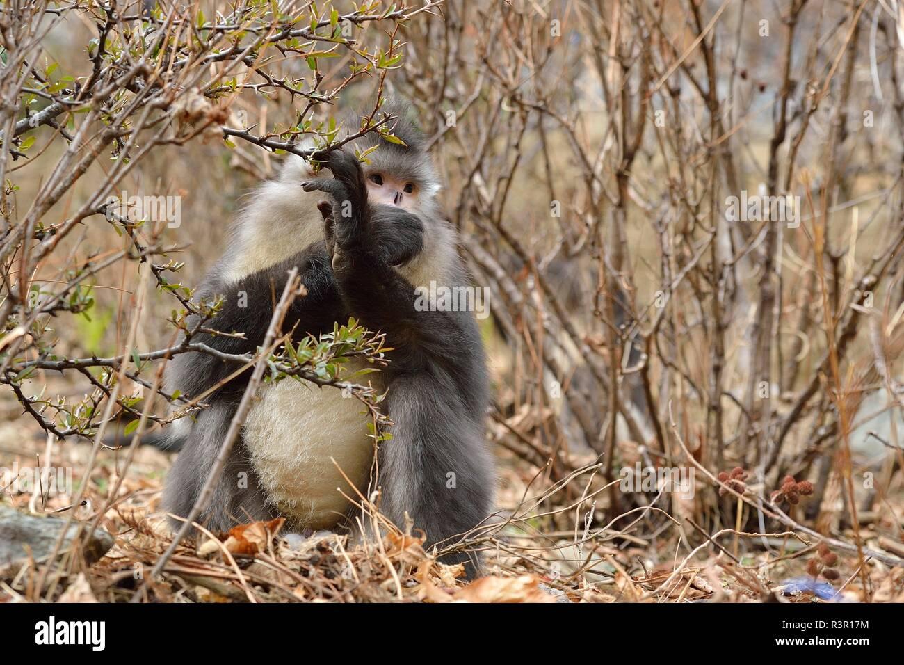 Black Snub-nosed Monkey (Rhinopithecus bieti) eating on ground, Yunnan, China - Stock Image