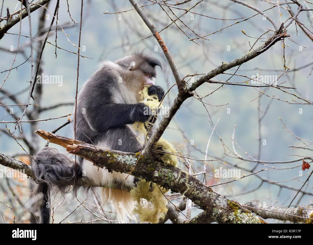 Black Snub-nosed Monkey (Rhinopithecus bieti) eating on a branch, Yunnan, China - Stock Image
