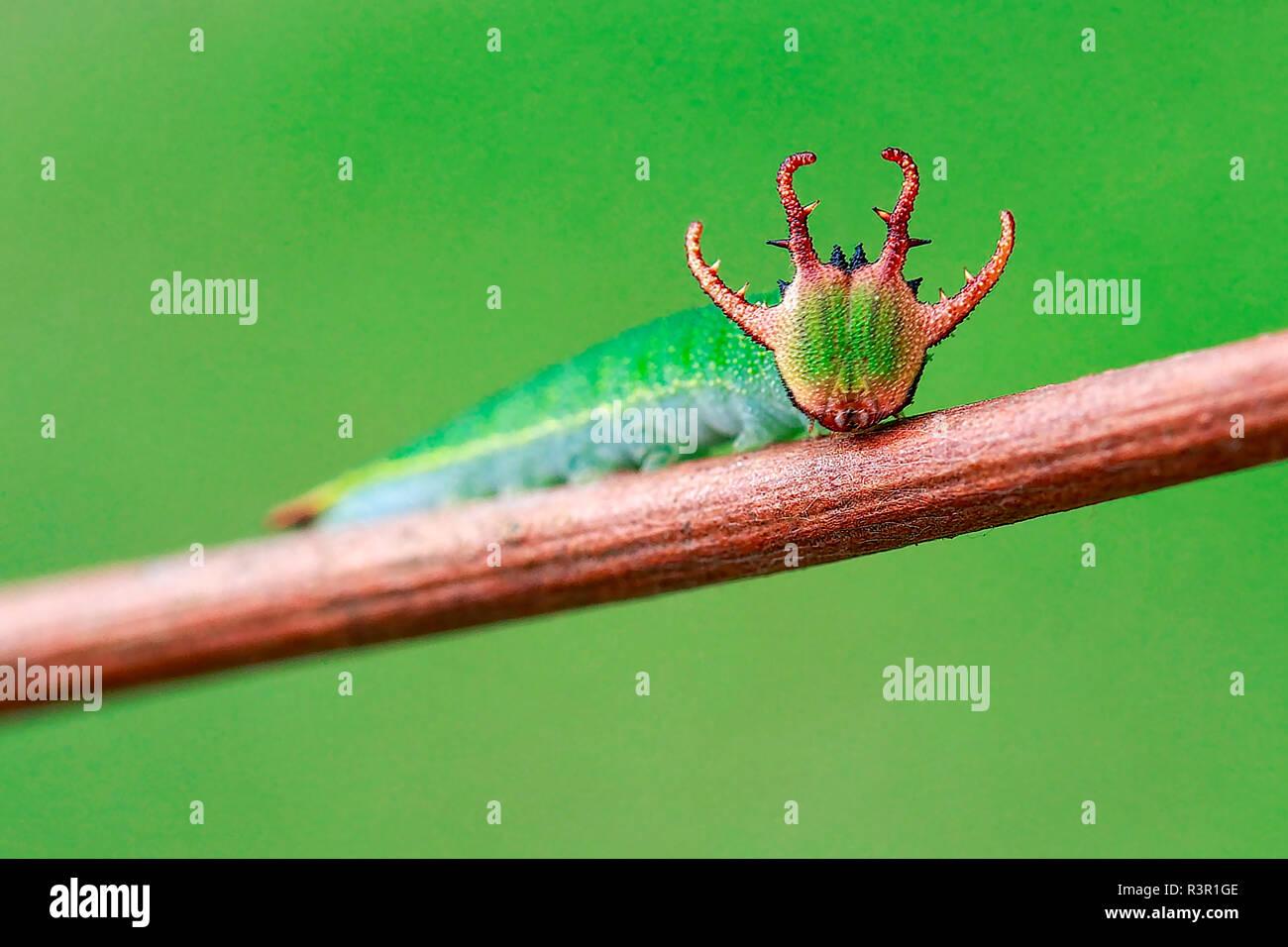 Dragon-like head of Nawab butterfly's caterpillar (Polyura sp) - Stock Image