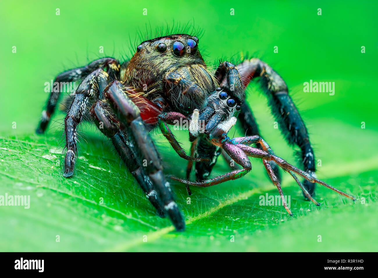 A male jumping spider (Hyllus diardi) with prey, another jumping spider(Cosmophasis umbratica). - Stock Image