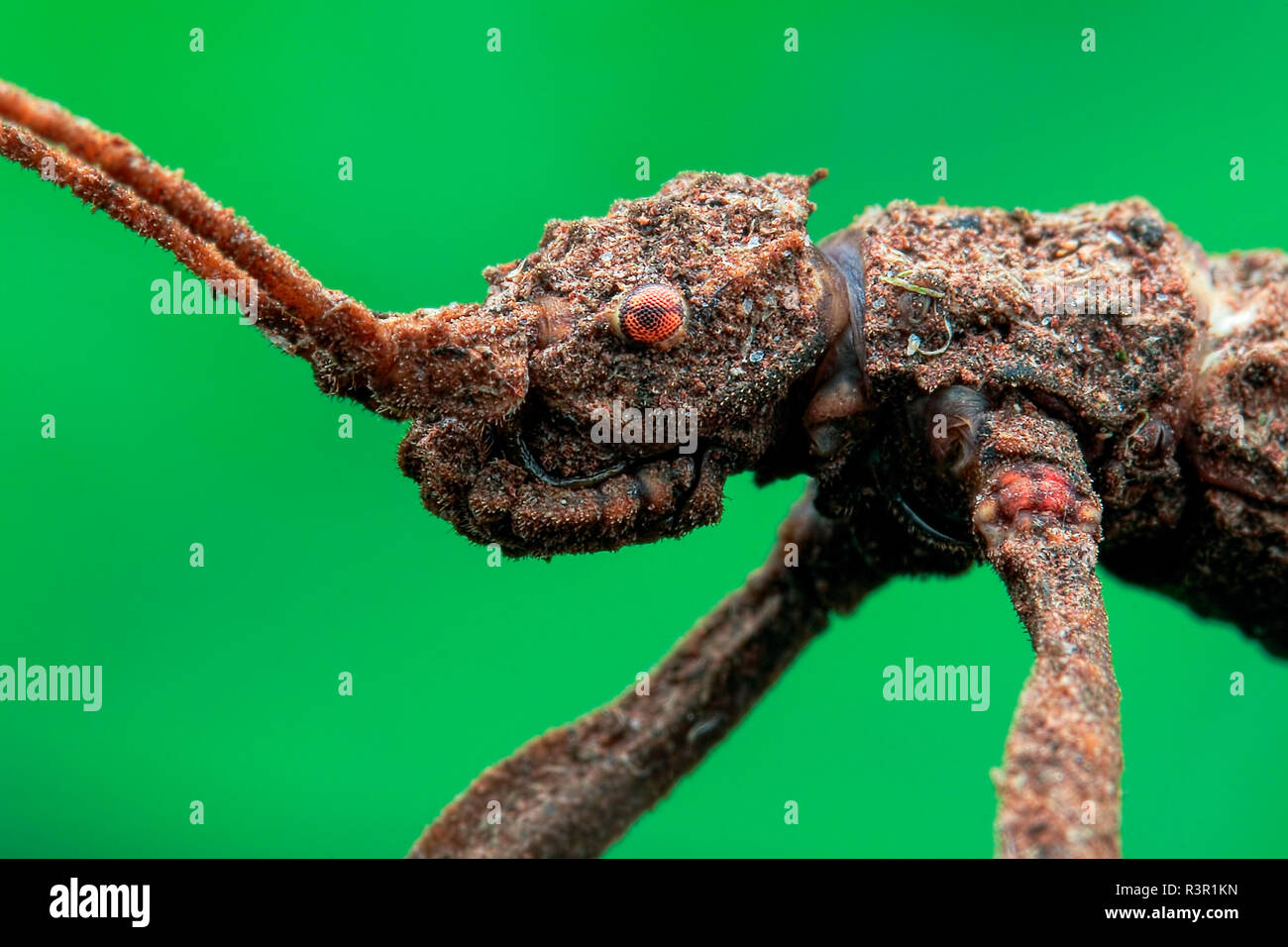 Low angle face shot of a stick insect (Phasmatodea). - Stock Image