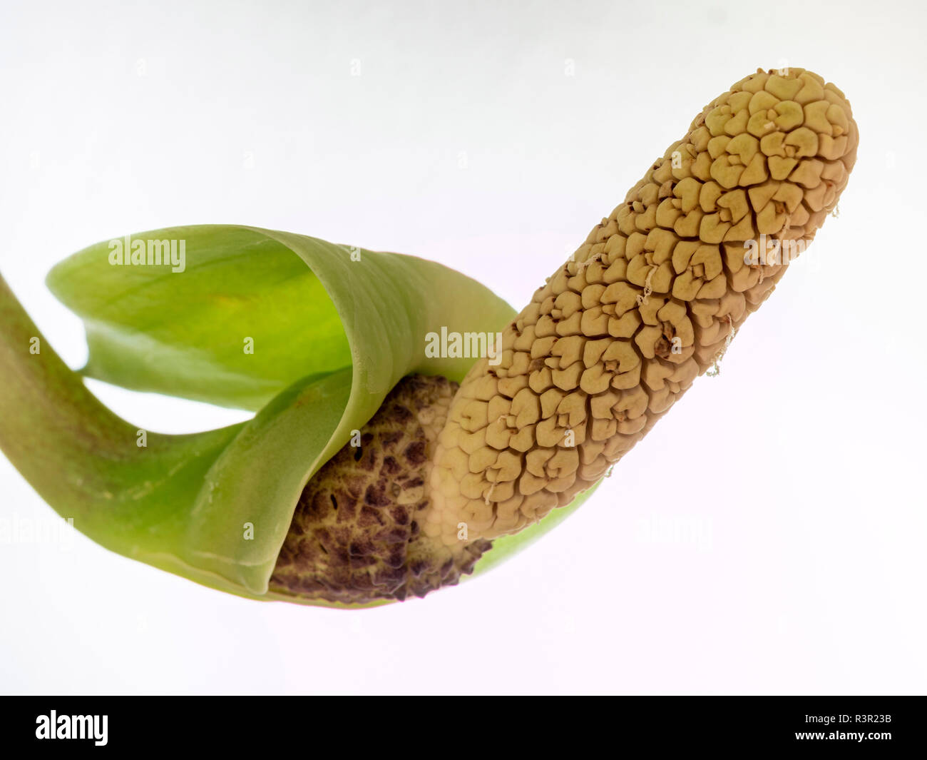 Flower of the houseplant Aroid Palm or Arum Fern (Zamioculcas zamiifolia) - Stock Image