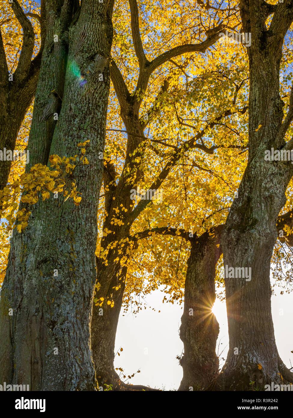 Linden tree (Tilia) with autumn colouring and solar reflex, Diessen, Upper Bavaria, Bavaria, Germany, Europe Stock Photo