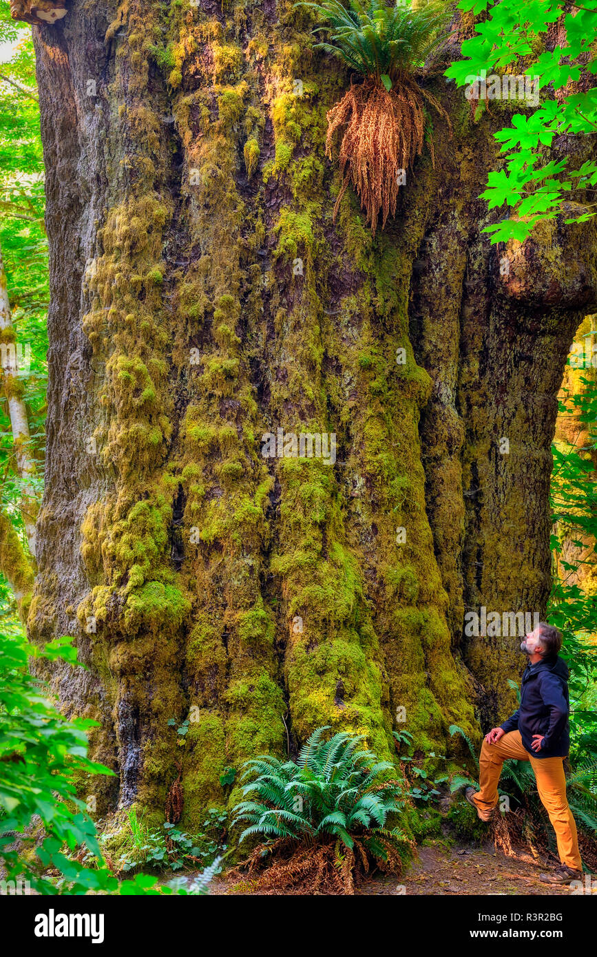 Sitka Spruce (Picea sitchensis) in the rainforest of Vancouver Island. Some rare specimens reach 100 m high - 90% of the rainforest of the island has been exploited and the beautiful trees are exceptional - Pacific Rim National Park - Vancouver Island - British Columbia - Canada Stock Photo