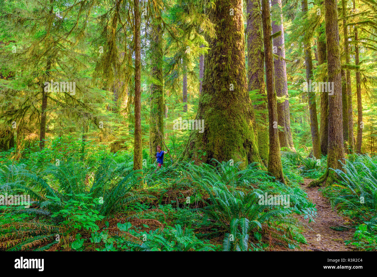 Sitka Spruce (Picea sitchensis) in the rainforest of Vancouver Island. Some rare specimens reach 100 m high - 90% of the rainforest of the island has been exploited and the beautiful trees are exceptional - Carmanah Walbran Provincial Park - Vancouver Island - British Columbia - Canada Stock Photo