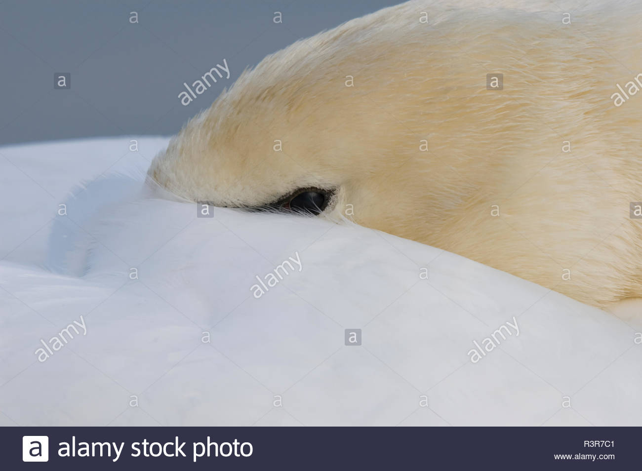 Schwan schläft und hat den Schnabel unter dem Gefieder - Stock Image