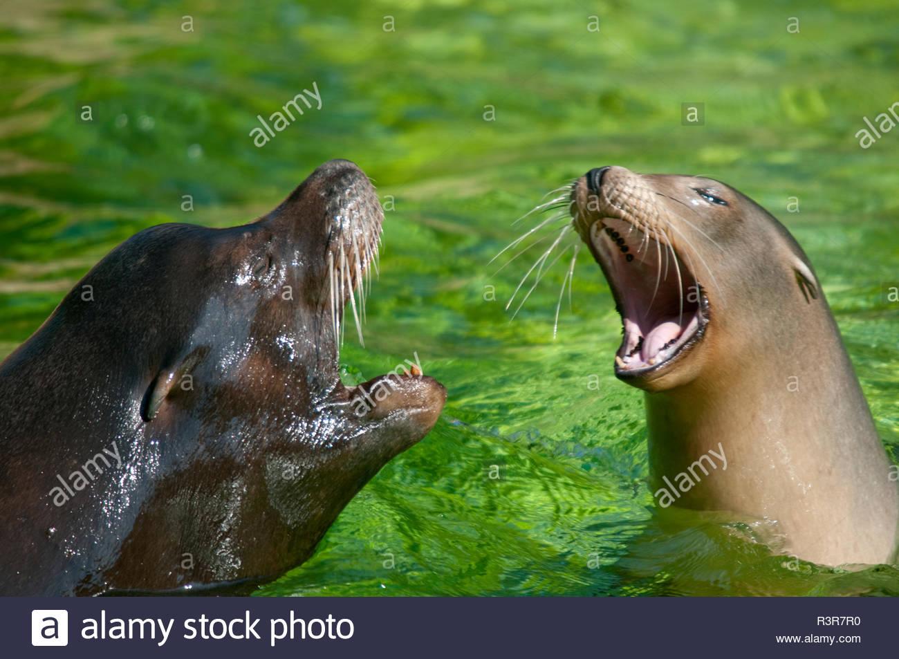 Robben Muttertier und junge Robbe - Stock Image