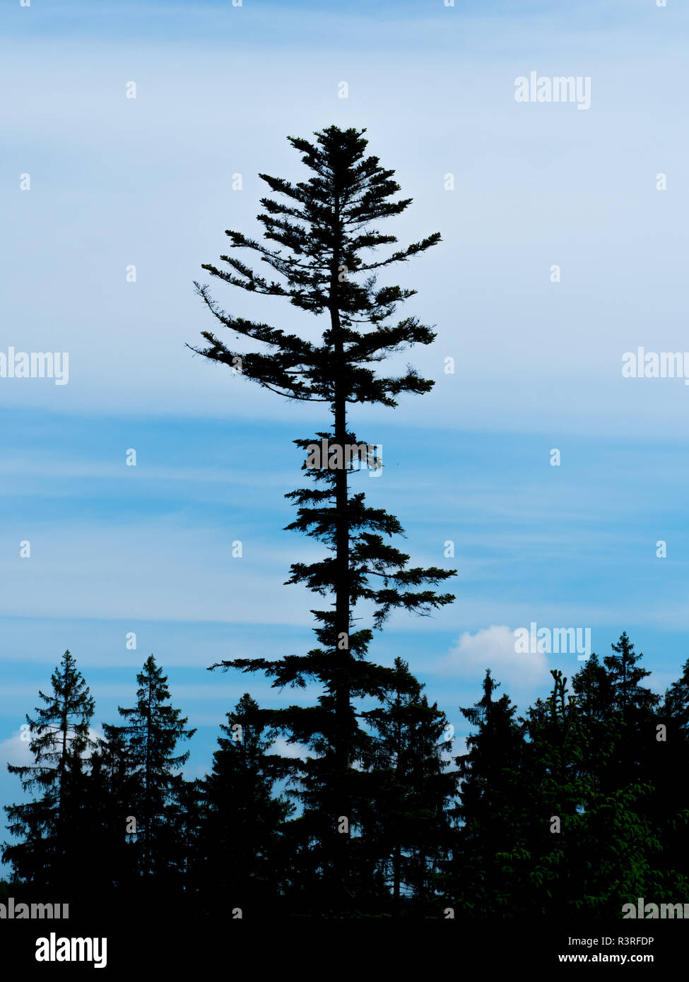 Silhouette of conifers - Stock Image
