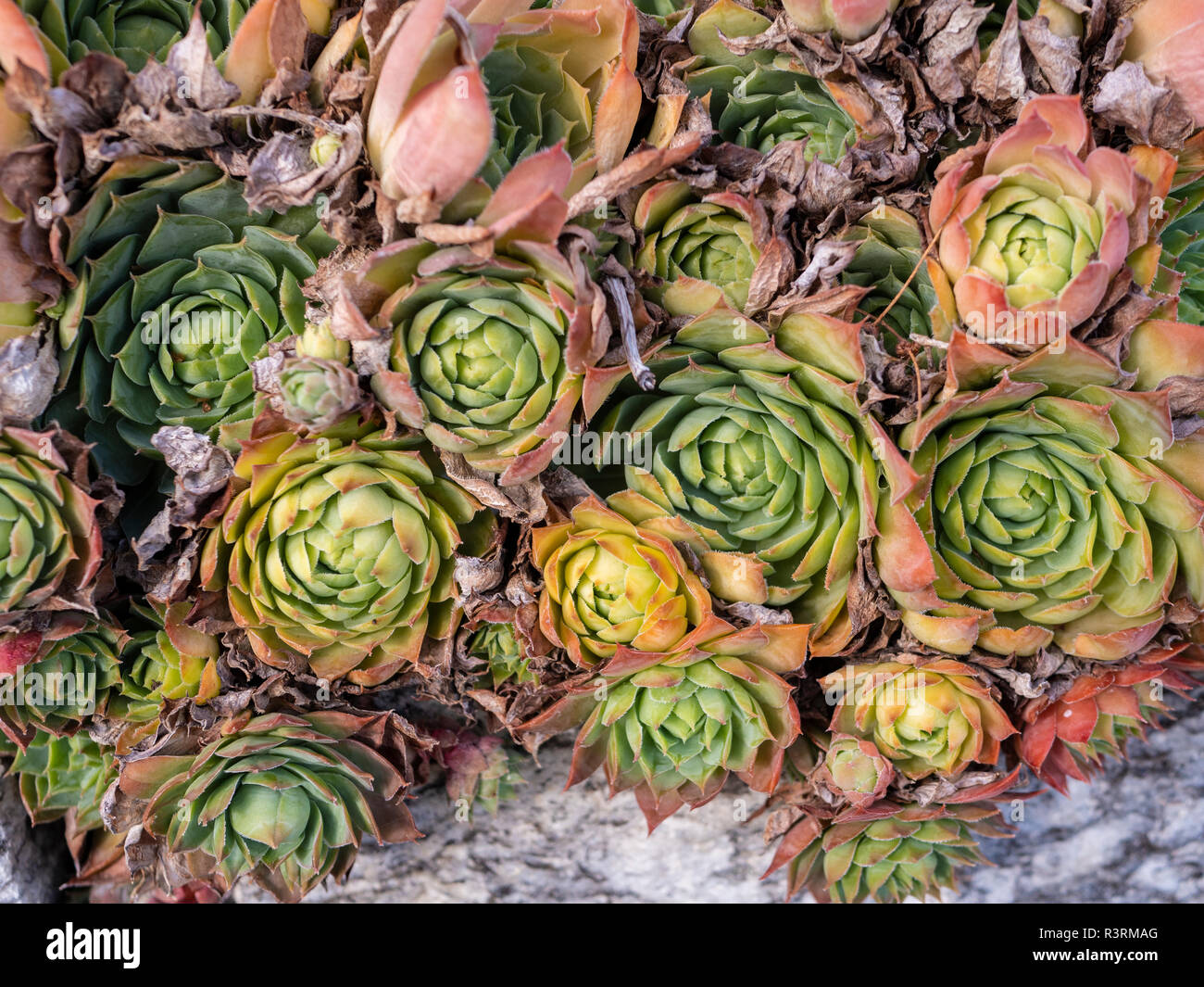 some green succulents - Stock Image