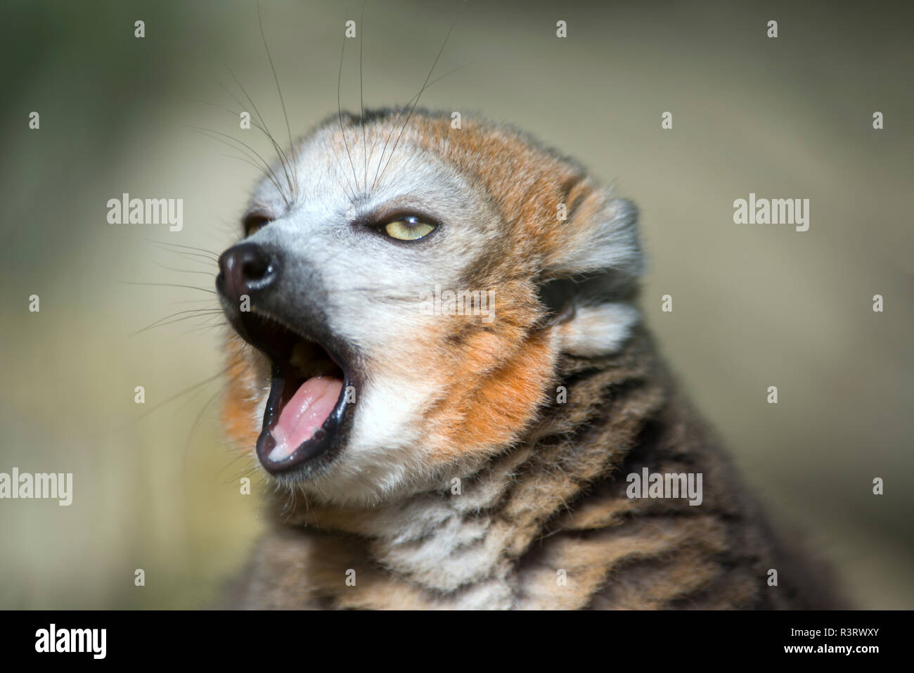 Portrait of yawning crowned lemur - Stock Image