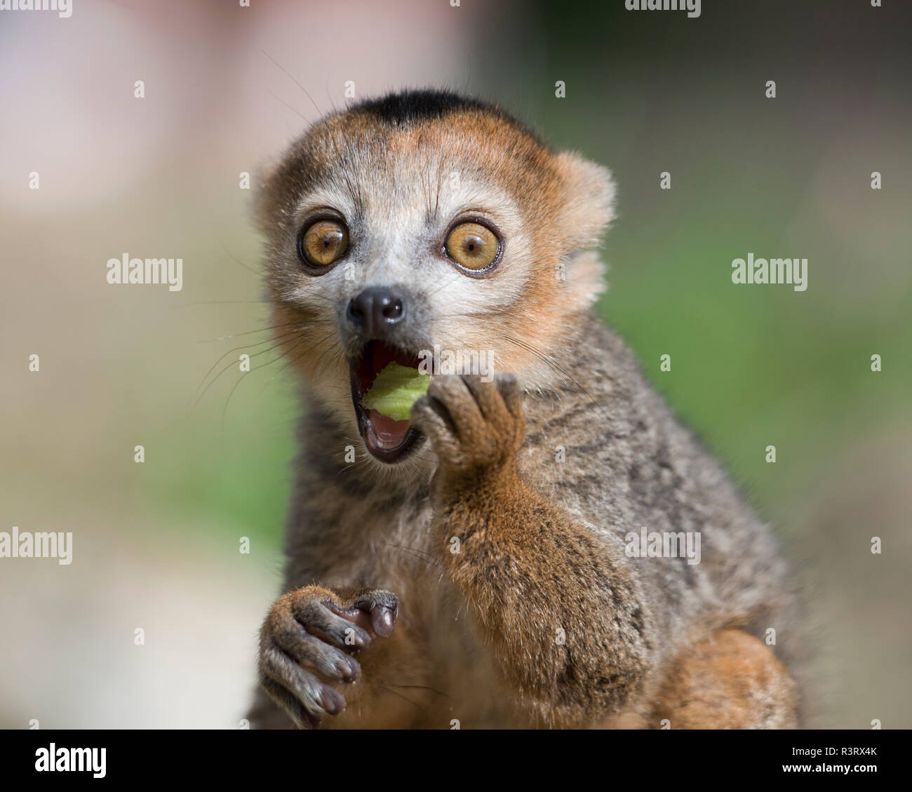 Portrait of eating crowned lemur with eyes wide open - Stock Image