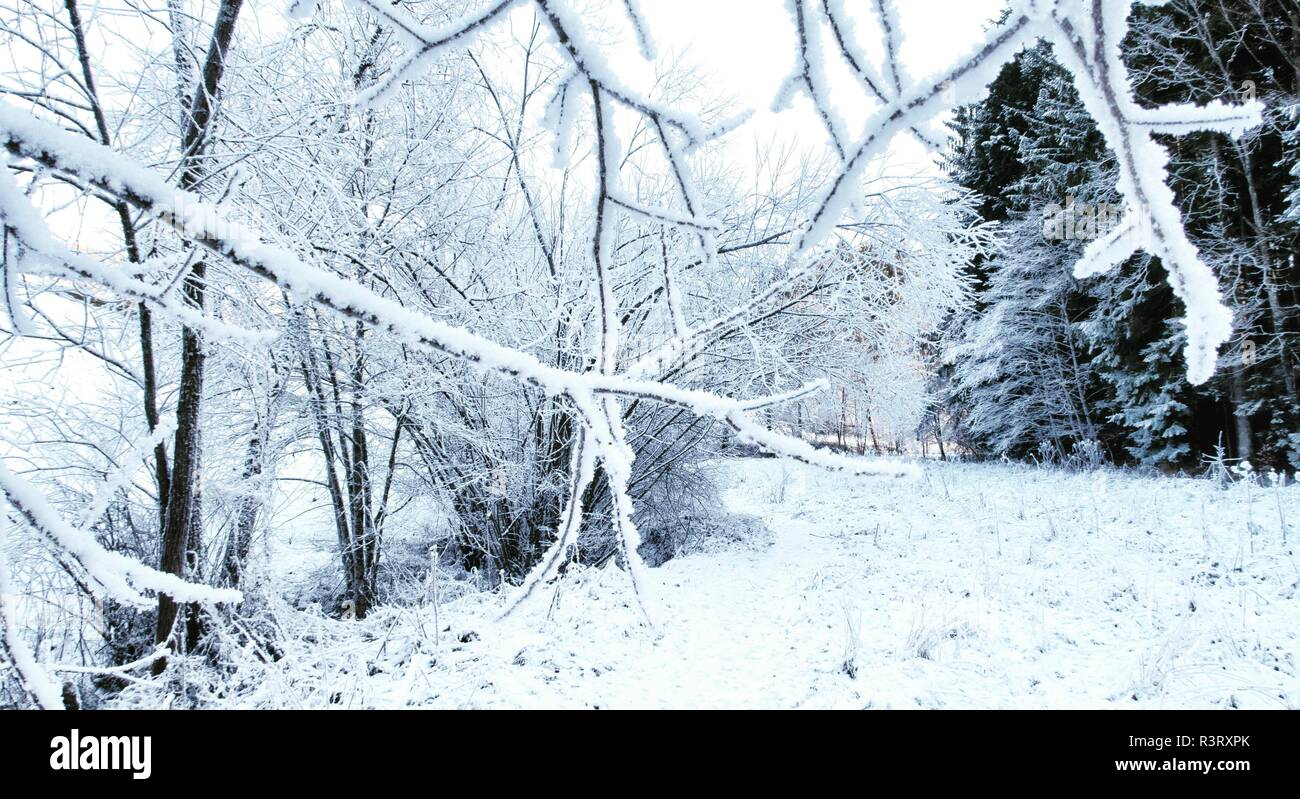 Frozen branch in winter forest - Stock Image