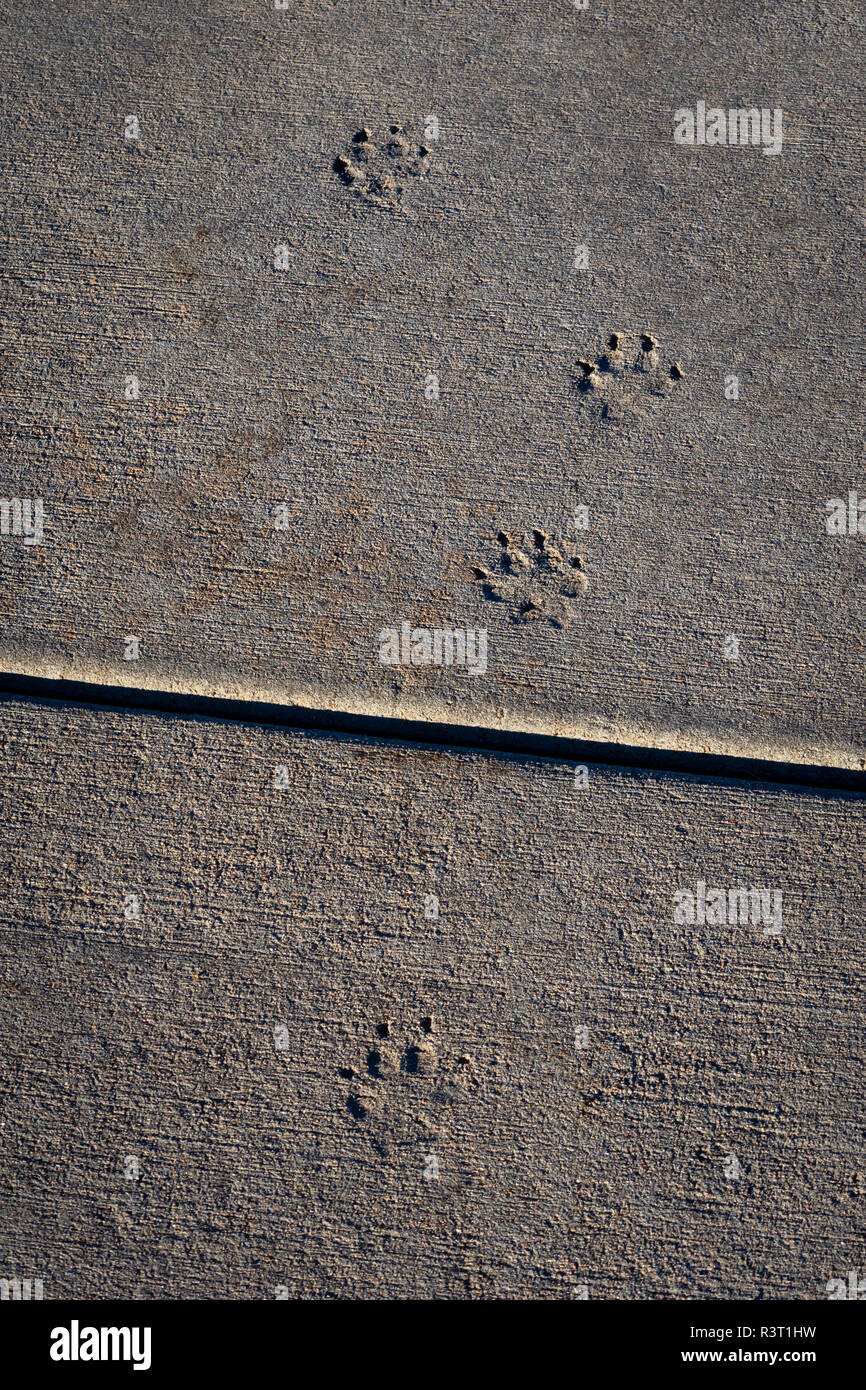 An animal like a Coyote or dog walked across wet cement and left its tracks in the concrete sidewalk, Castle Rock Colorado US. - Stock Image