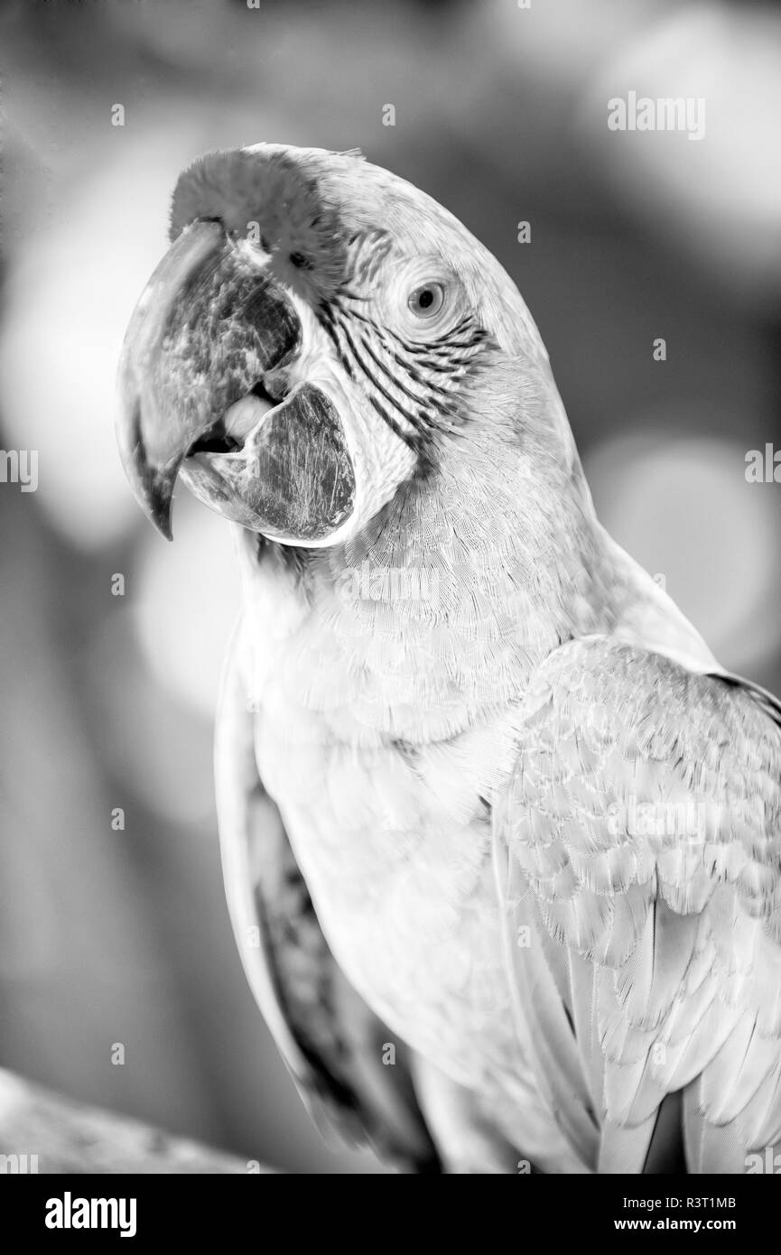 beautiful cute funny bird of red feathered ara macaw parrot outdoor on green natural background Stock Photo