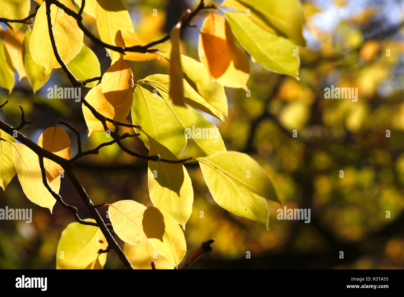 Saucer Magnolia Leaves In Autumn Stock Photo Alamy