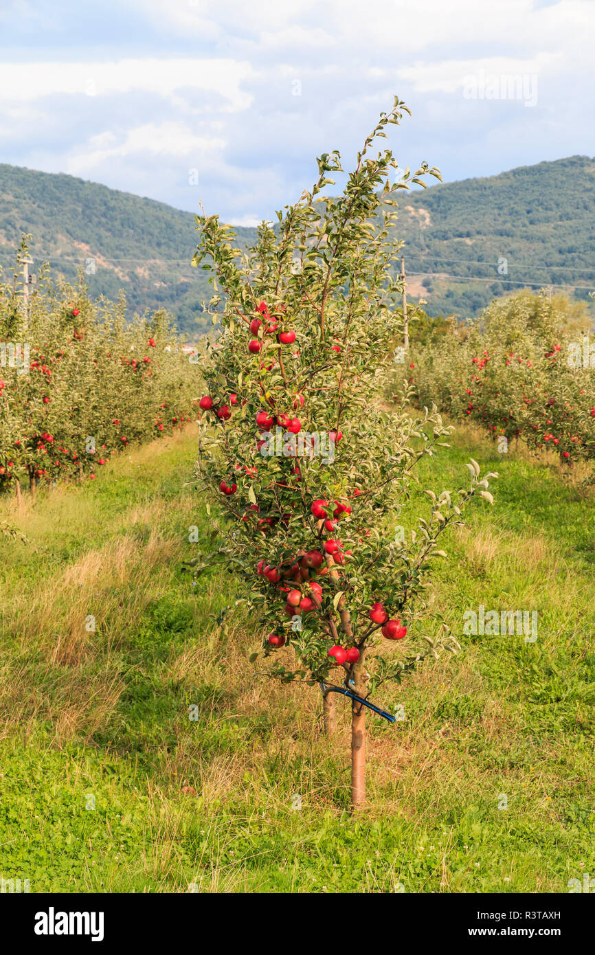 Macedonia, Ohrid and Lake Ohrid, Fruit trees, apples, growing in fields. Ohrid is both a UNESCO World Heritage Cultural and Natural site. - Stock Image