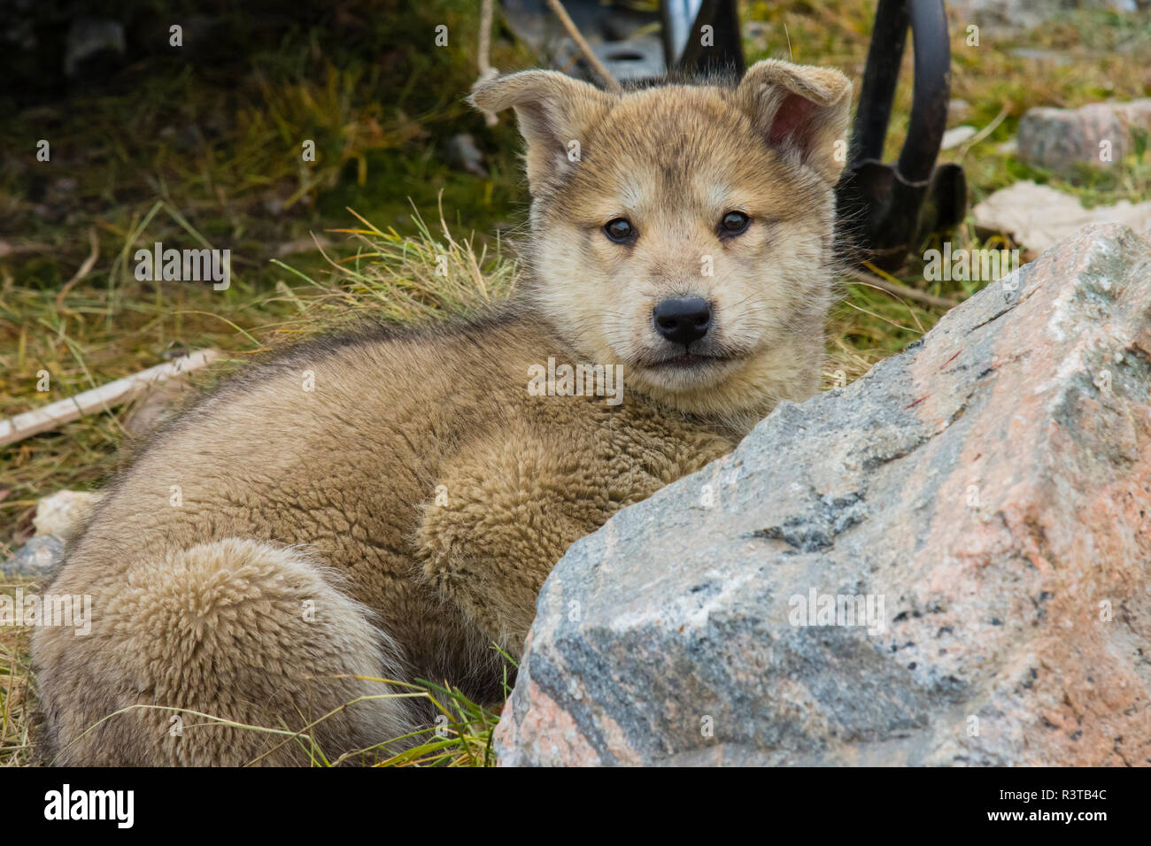 Greenland. Scoresby Sund. Ittoqqortoormiit. Sled dog puppy with thick fur. - Stock Image