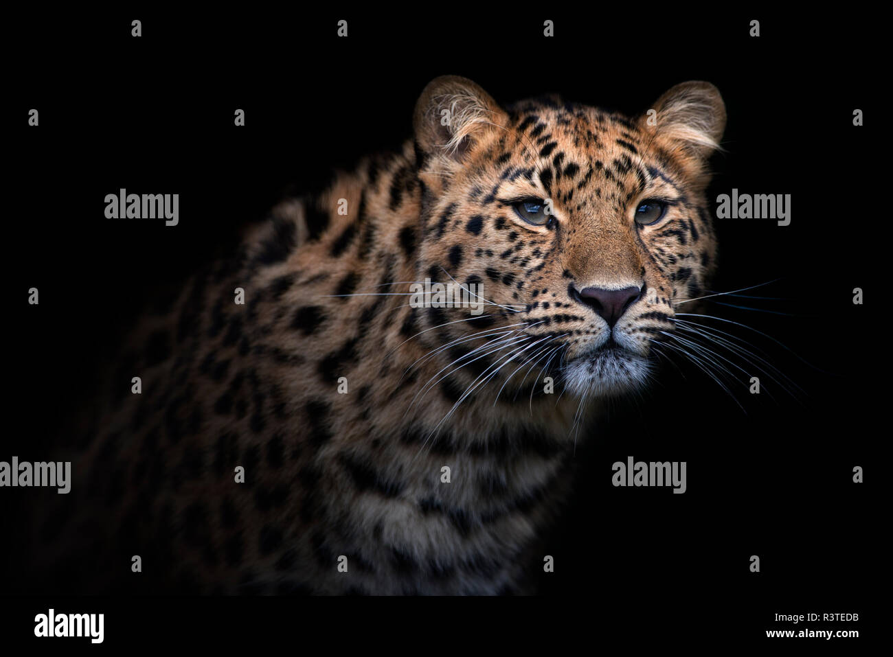 Portrait of Amur leopard in front of black background - Stock Image