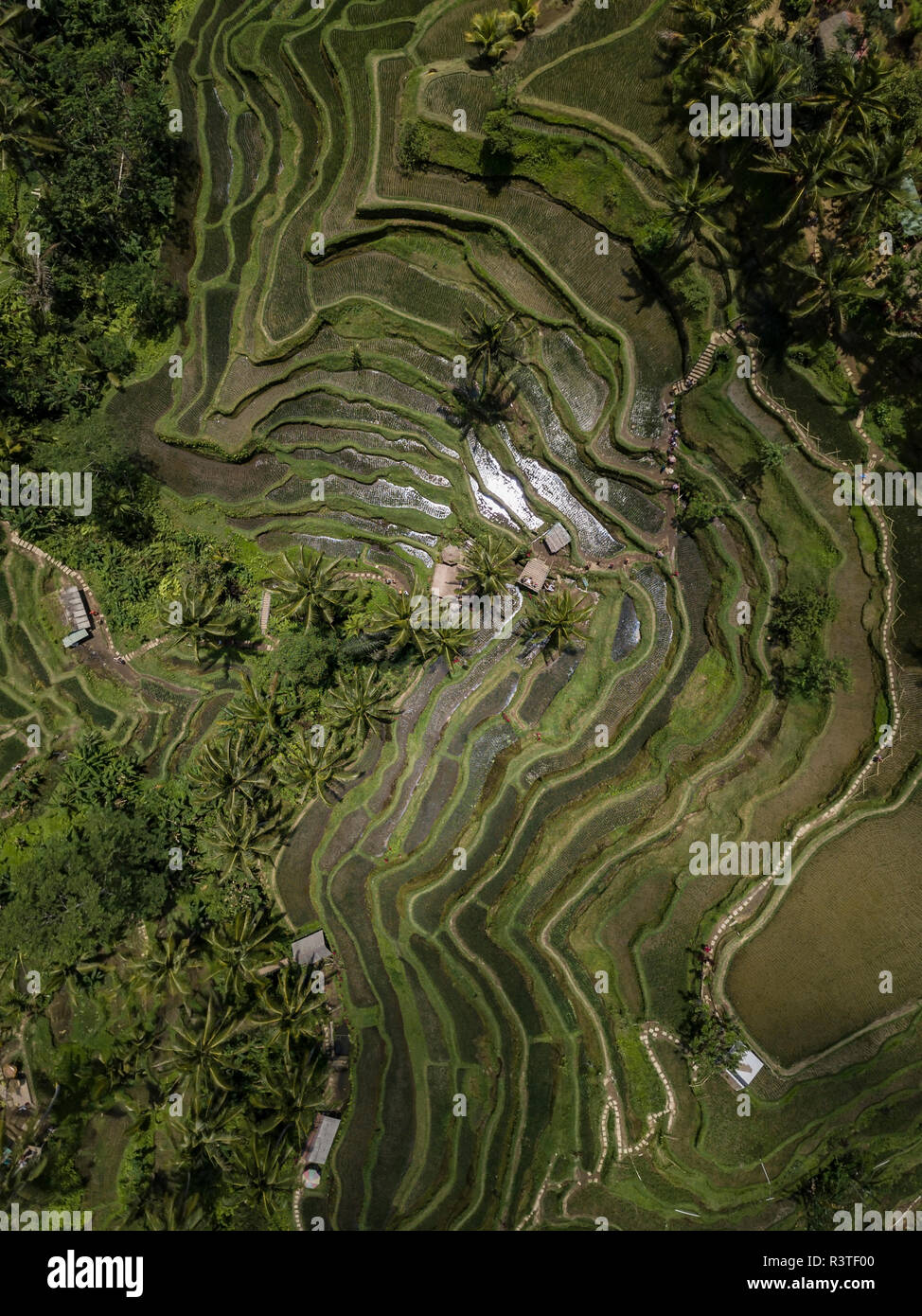 Indonesia, Bali, Ubud, Tegalalang, Aerial view of rice fields, terraced fields - Stock Image