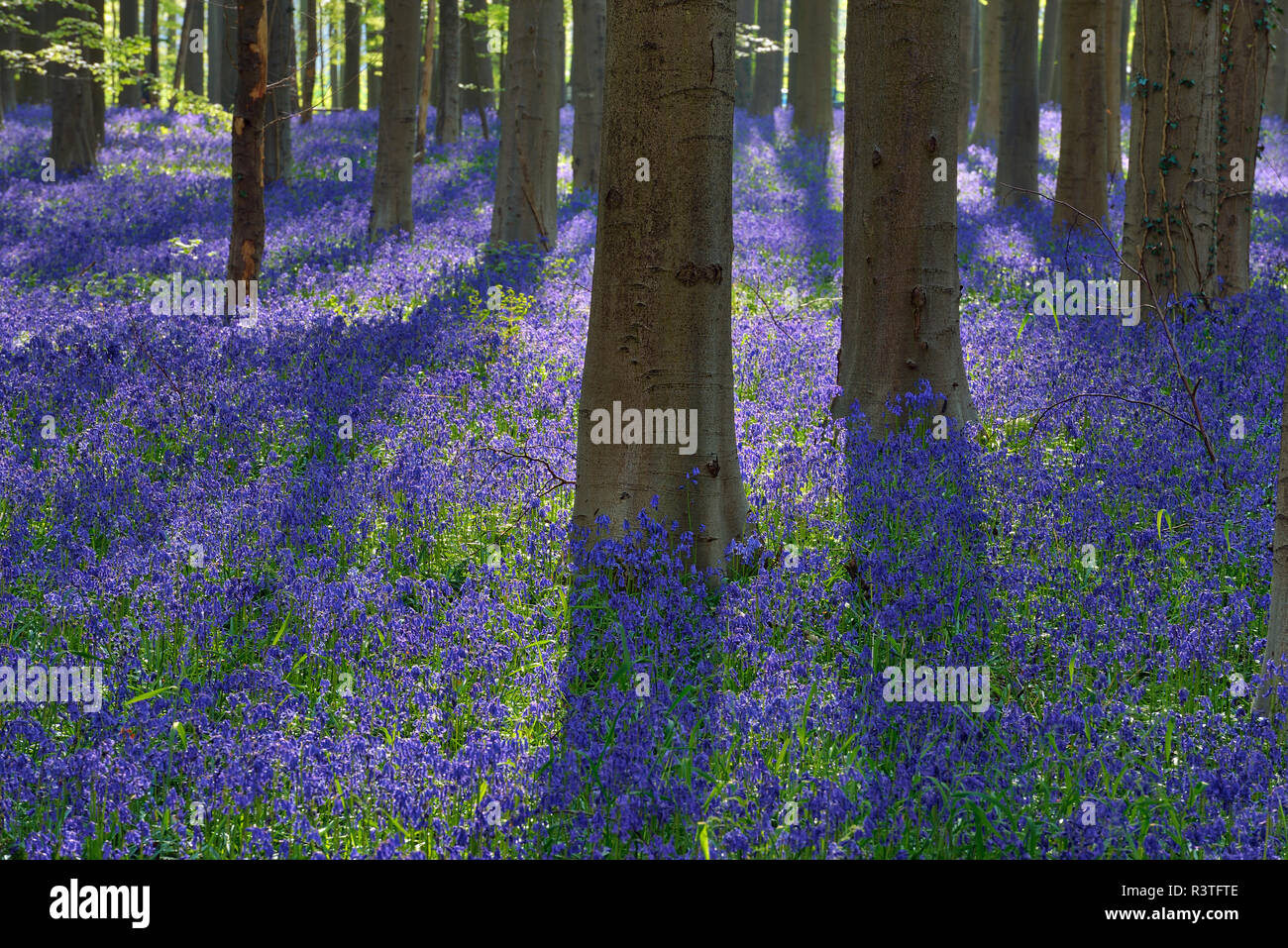 belgium, Flemish Brabant, Halle, Hallerbos, Bluebell flowers, Hyacinthoides non-scripta, beech forest in early spring Stock Photo
