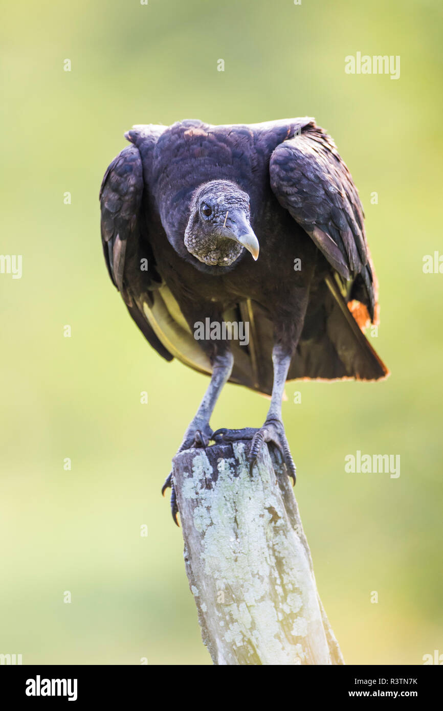 Belize, Crooked Tree Wildlife Sanctuary. Black Vulture sitting on a lichen-covered fence post. Stock Photo
