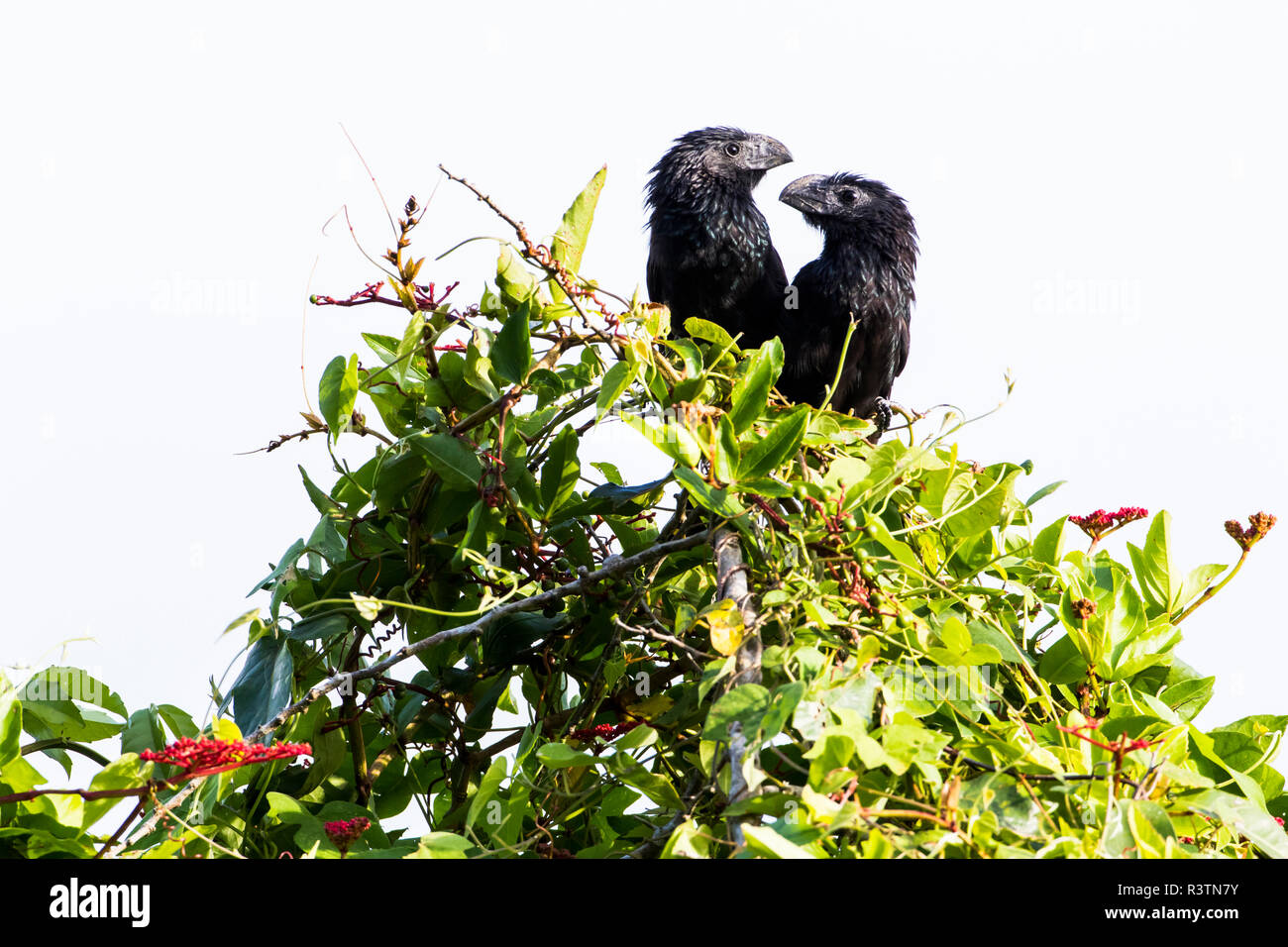Belize, Crooked Tree Wildlife Sanctuary. Groove-billed Anis perch on top of shrubbery - Stock Image