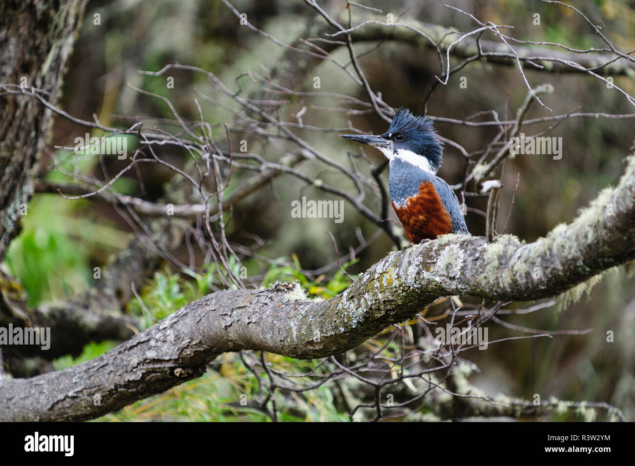 Chile, Aysen. Ringed Kingfisher (Ceryle torquata). - Stock Image