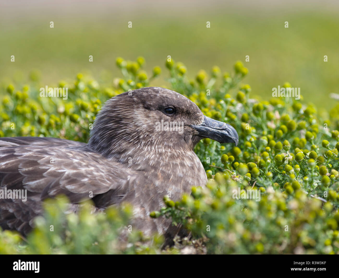Falkland Skua or Brown Skua (Stercorarius antarcticus, exact taxonomy is under dispute) are the great skua of the southern polar and subpolar region. Stock Photo