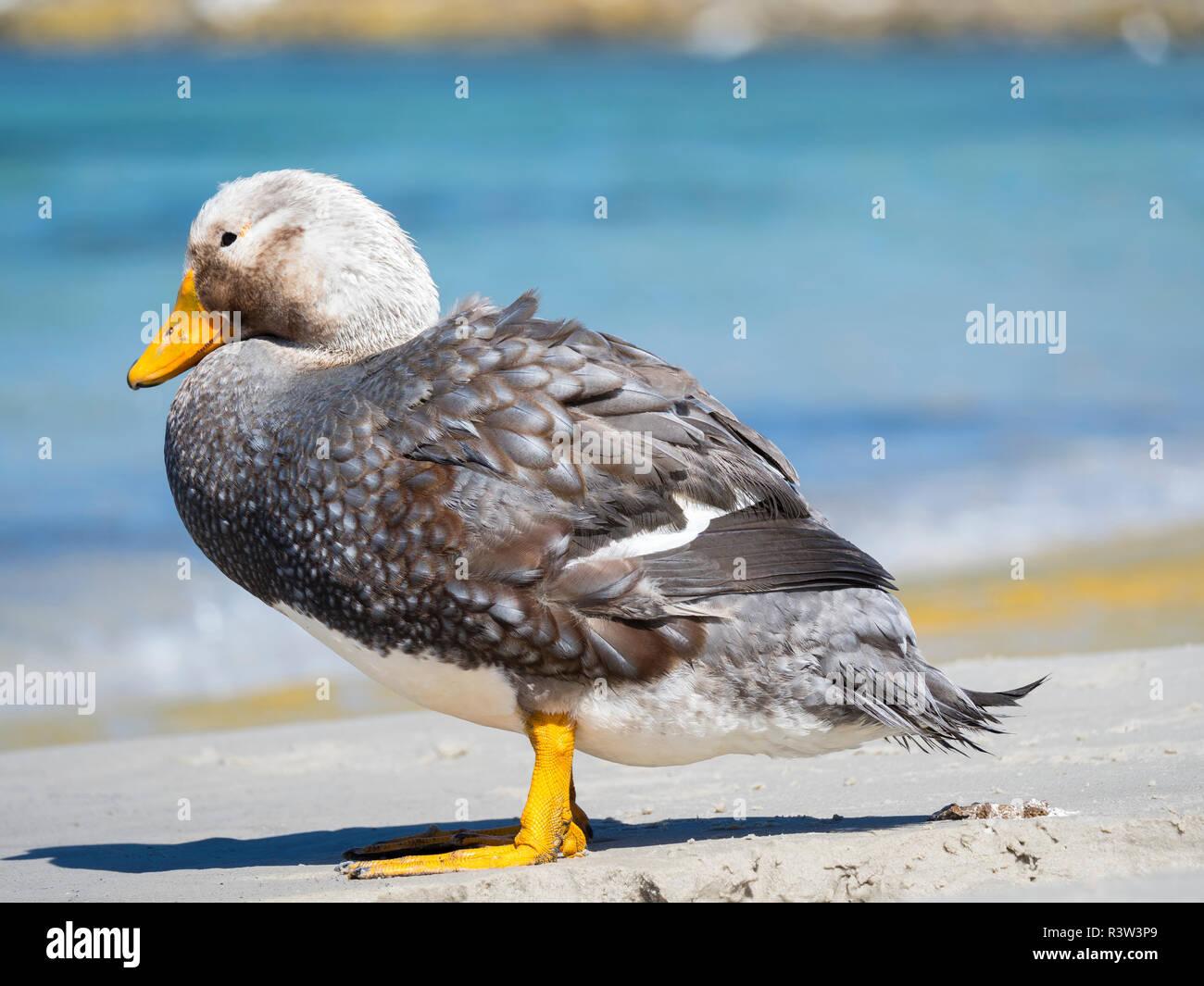 Male Falkland flightless Steamer duck (Tachyeres brachypterus) endemic to the Falkland Islands. - Stock Image