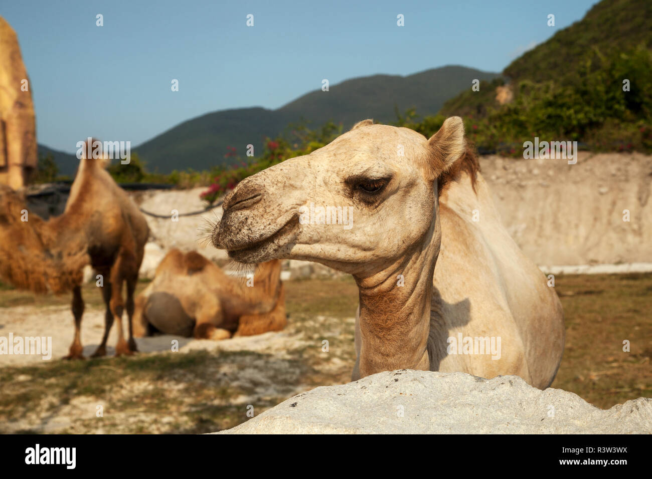 Dromedary camel head close-up portrait. Group of Bactrian and Dromedary camels species in the nature - Stock Image