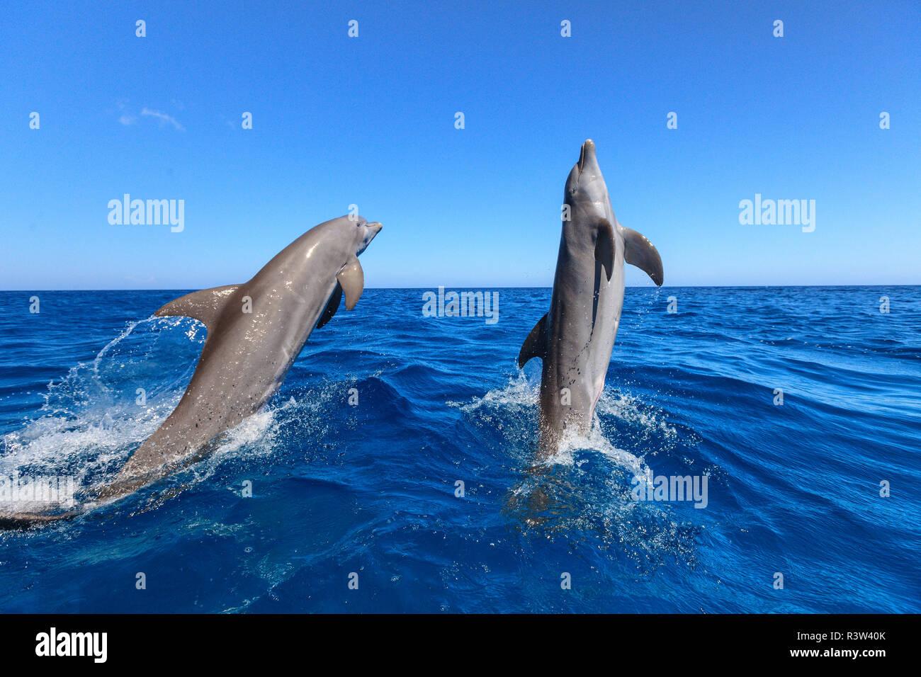Bottlenose Dolphins (Tursiops truncatus) Caribbean Sea, Roatan, Bay Islands, Honduras Stock Photo