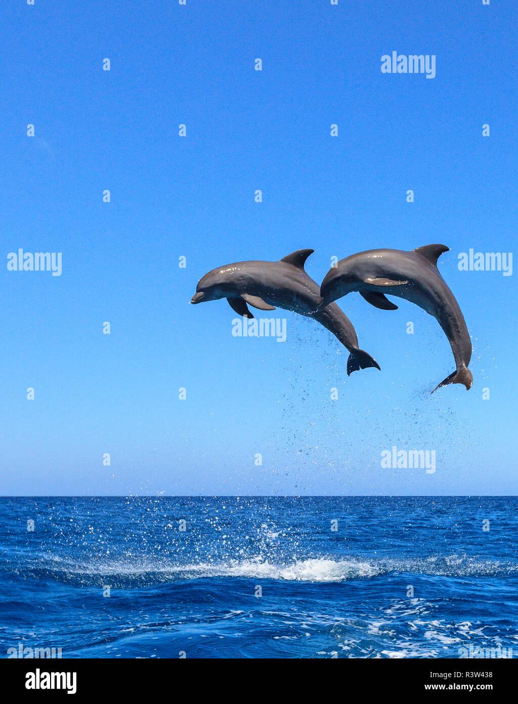 Bottlenose Dolphins (Tursiops Truncatus) Caribbean Sea, Roatan, Bay Islands, Honduras - Stock Image