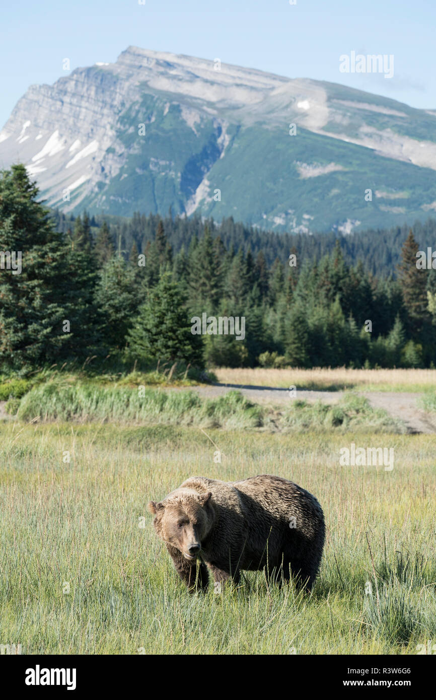 Lone grizzly bear, ursus arctos horribilis, grazes harmlessly in a meadow beneath mountains, Lake Clark National Park, Alaska. - Stock Image