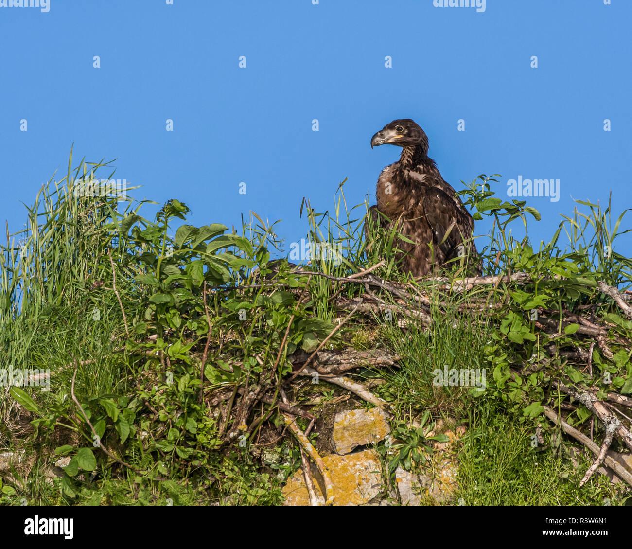 USA, Alaska, Katmai National Park, Kukak Bay. Baby bald eagle, Haliaeetus Leucocephalus, in its nest. Stock Photo