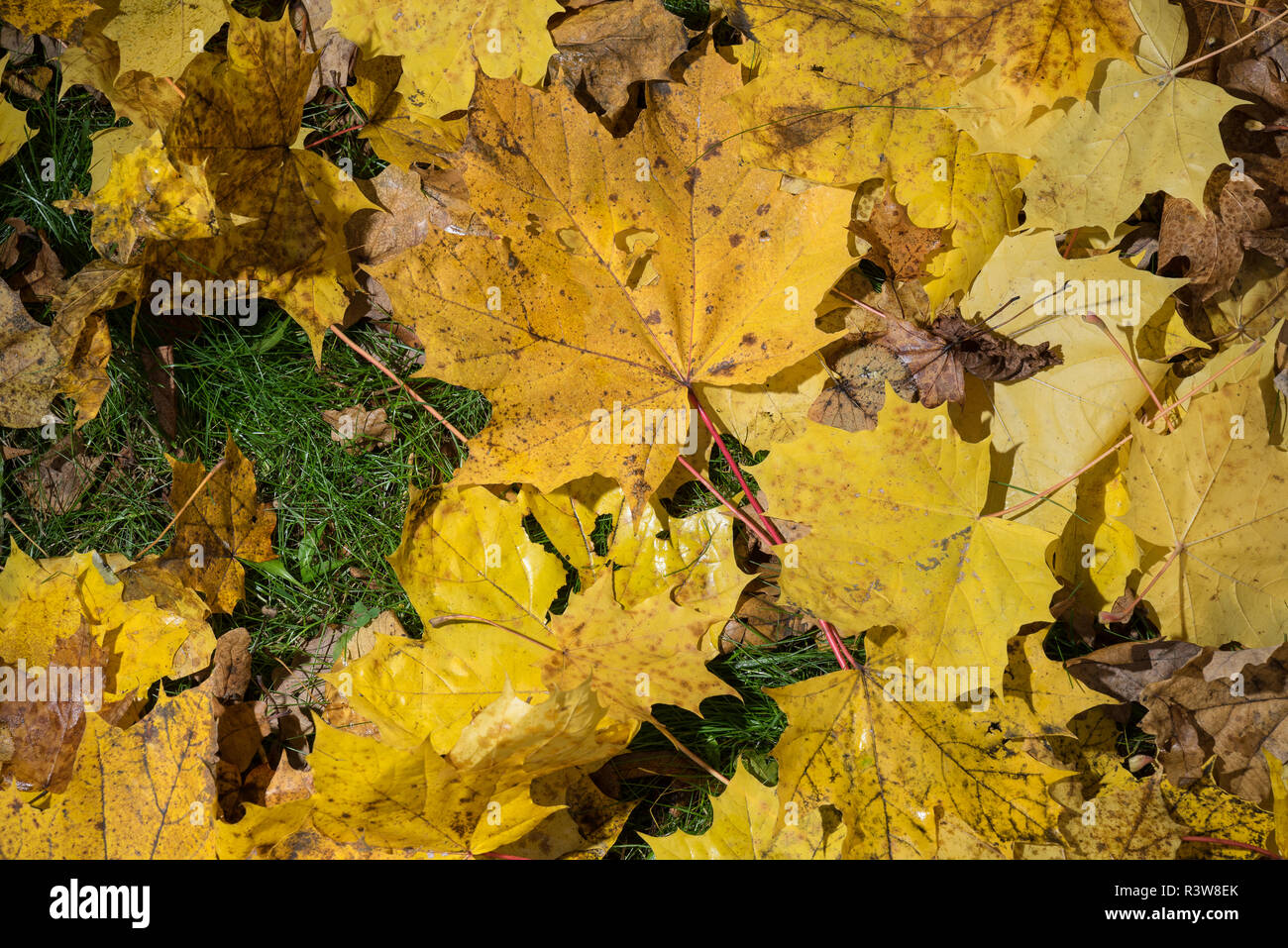 Colored maple leaves. Yellow autumn leaves. Natural environment  background - Stock Image