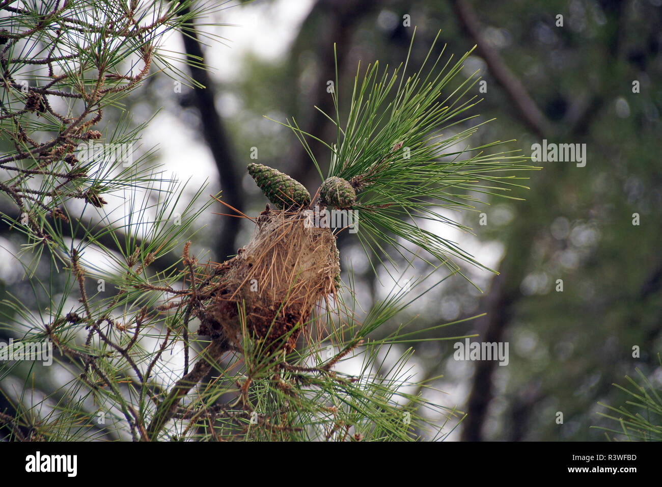 Pinecones and neddles in a tree on Crete - Stock Image