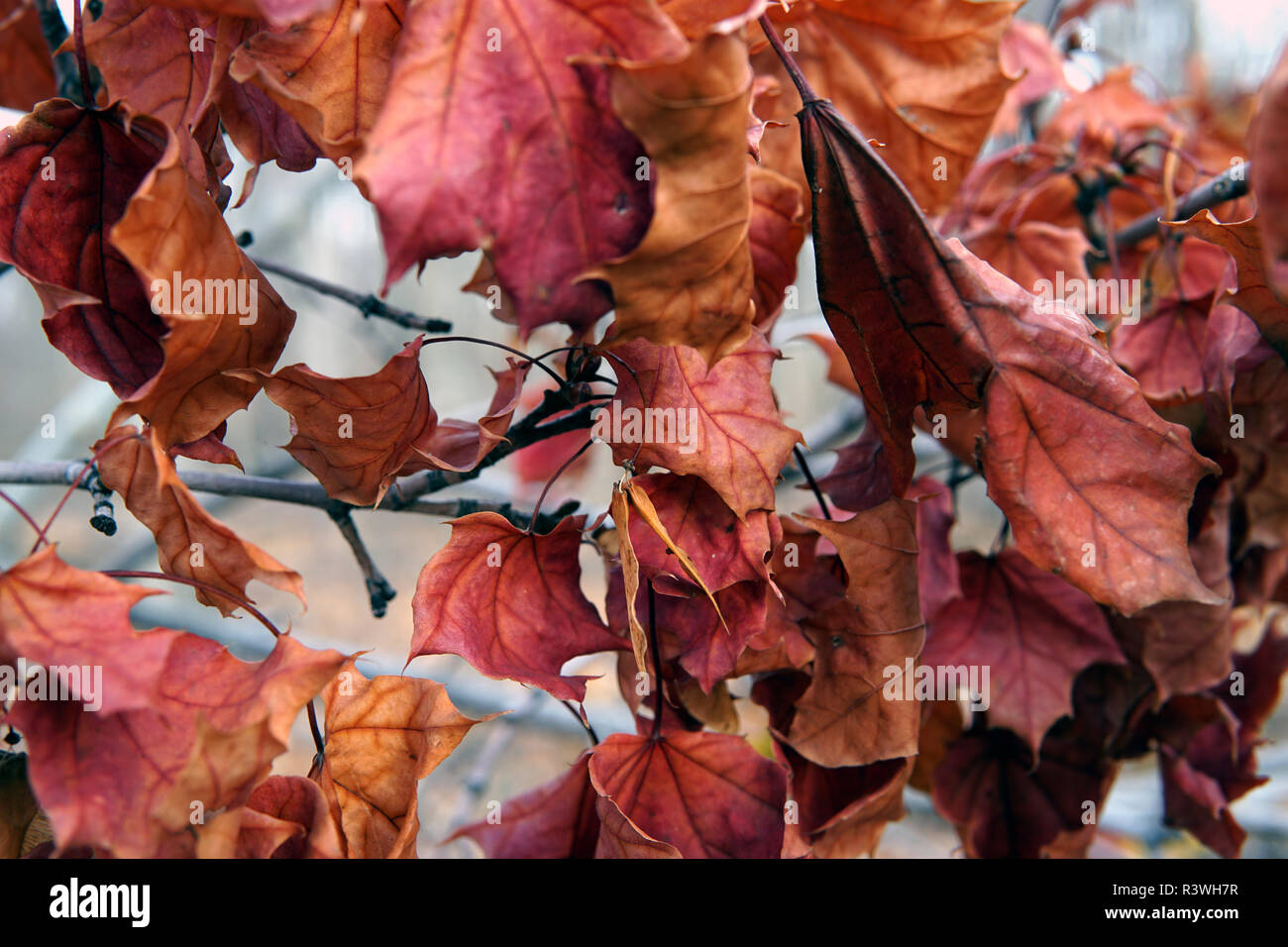 Yellow Foliage Of A Shrub In The Fall Season Stems Branches Of Red Color Around The Leaves Blue And Deep Purple Color Background Wet Plant Floral Stock Photo Alamy