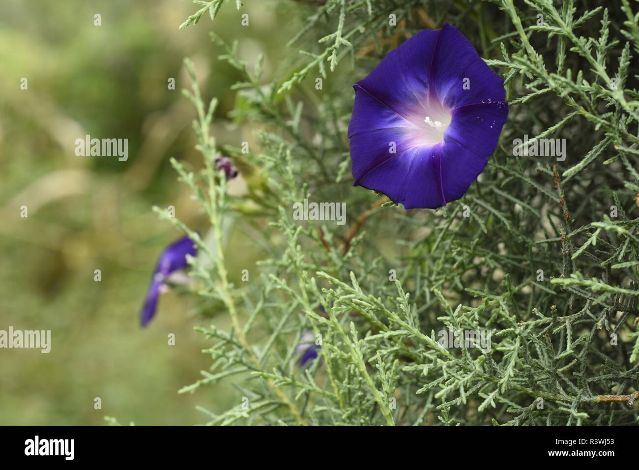 Morning-Glory, in the family Convolvulaceae, contains at least 50 genera and more than 1000 species. - Stock Image
