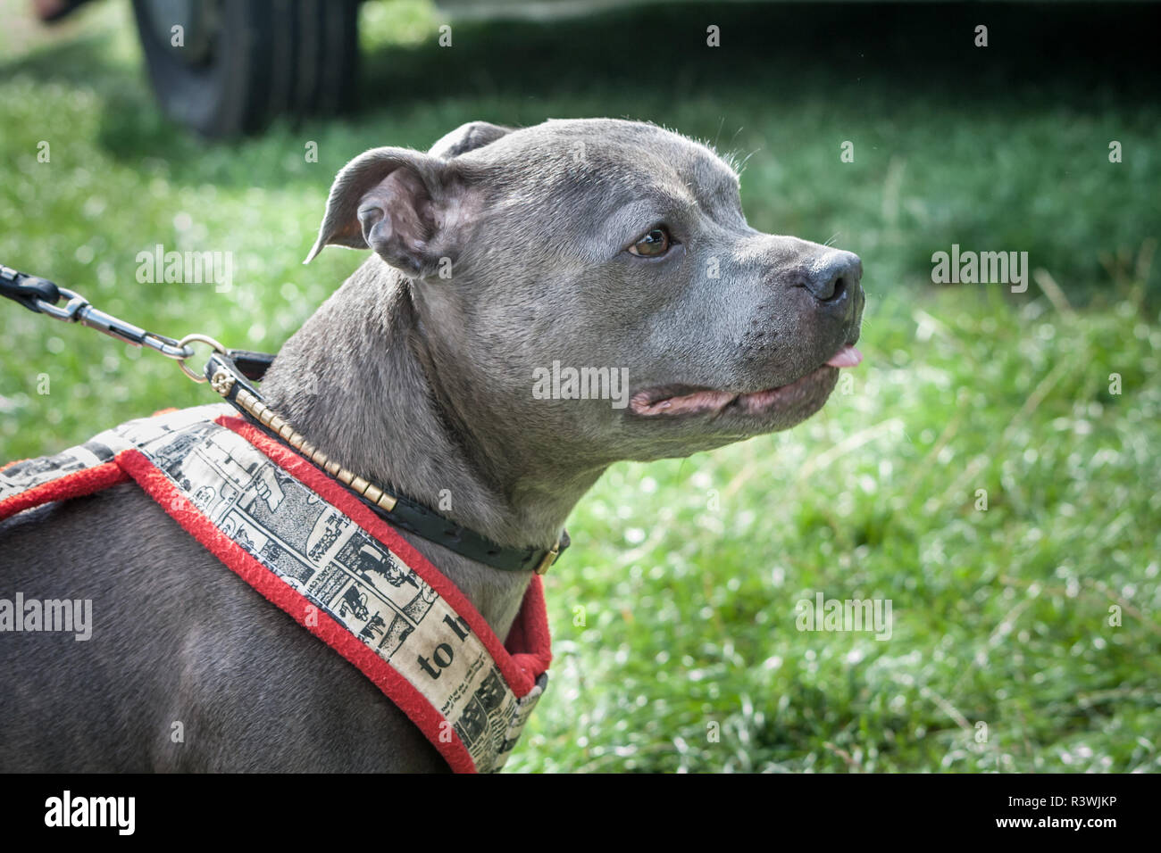 Blue Staffordshire Bull Terrier on a dog show wearing a collar and a weight pulling harness - Stock Image