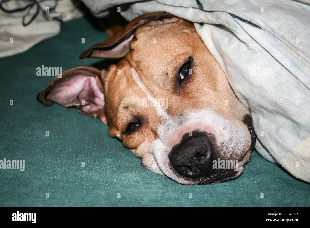 Spoiled dog sleeping under the blanket (American Pit Bull Terrier) - Stock Image