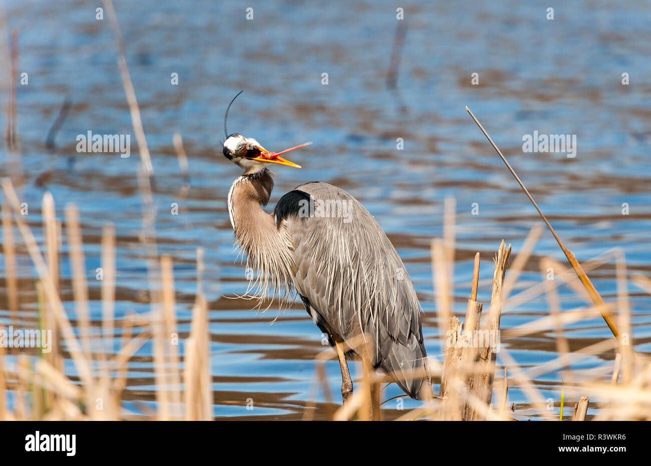A Great Blue Heron sticking his tongue out, mugging for the camera. - Stock Image