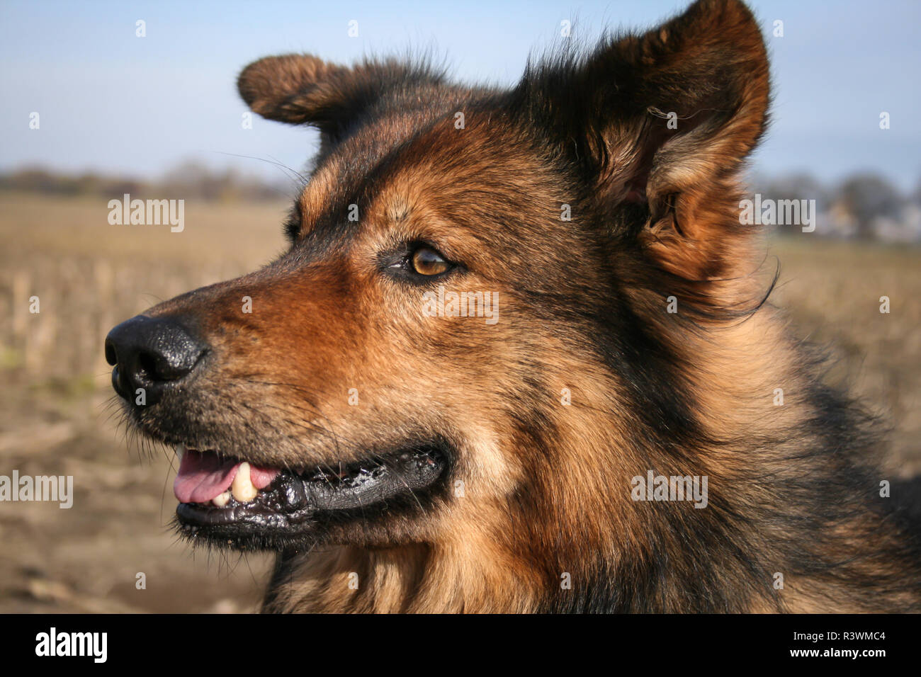 Mixed dog feeling the wind in his face, outside in the nature - Stock Image