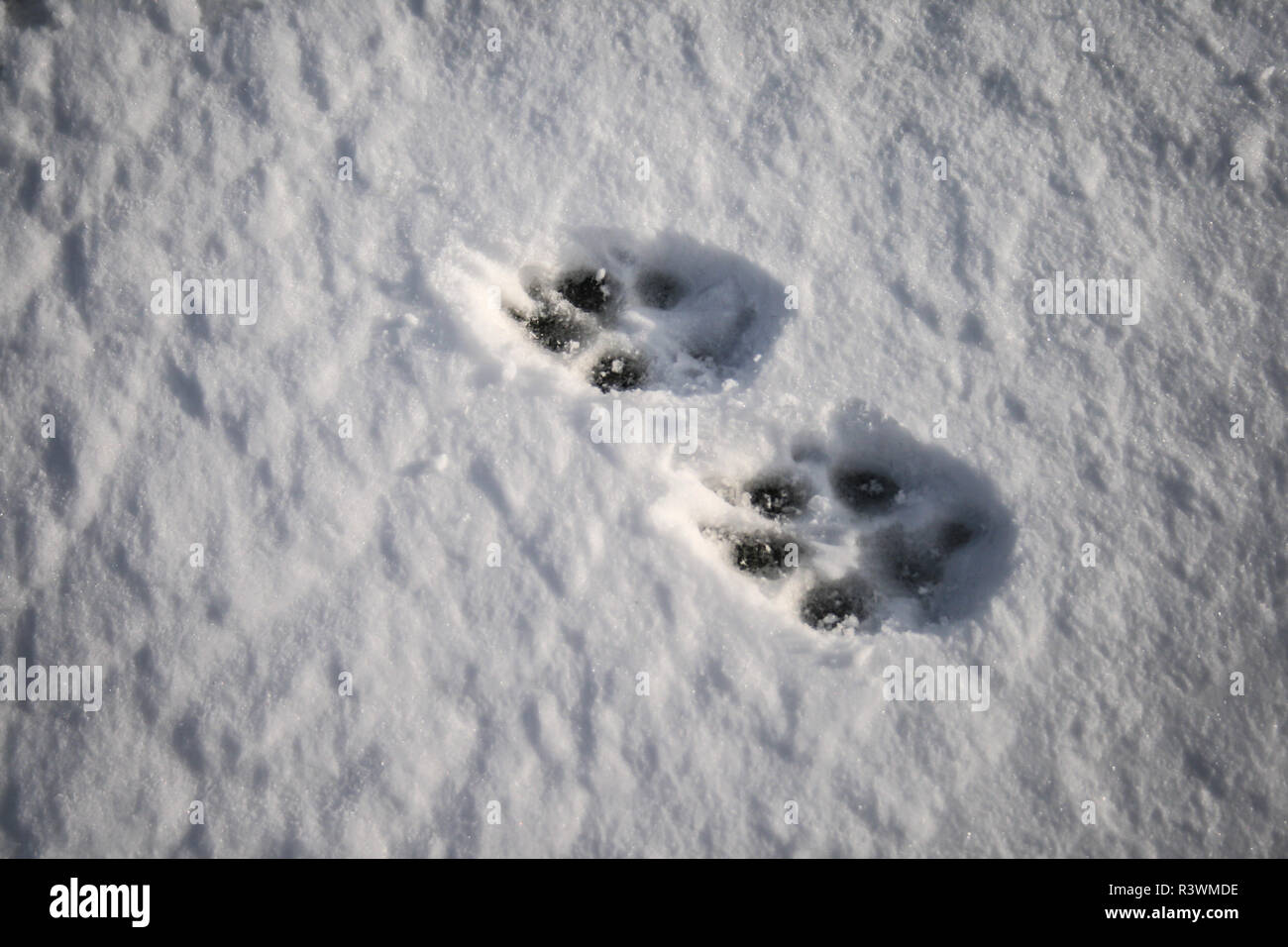 Paw prints of a dog in the snow - Stock Image