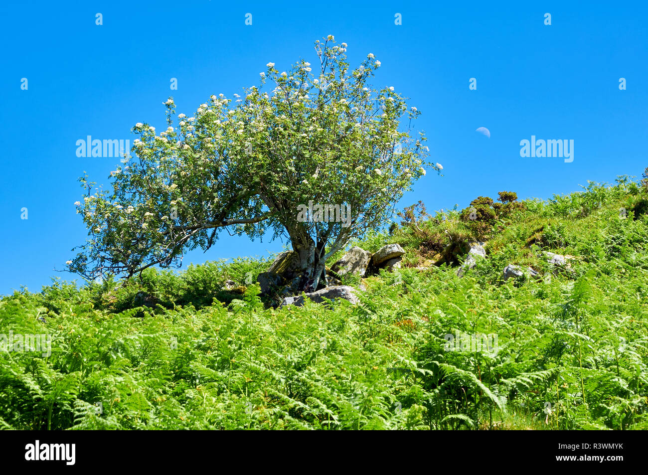 Windswept flowering rowan tree (Mountain Ash) on Dartmoor surrounded by green bracken with the moon visible in a blue May sky - Stock Image