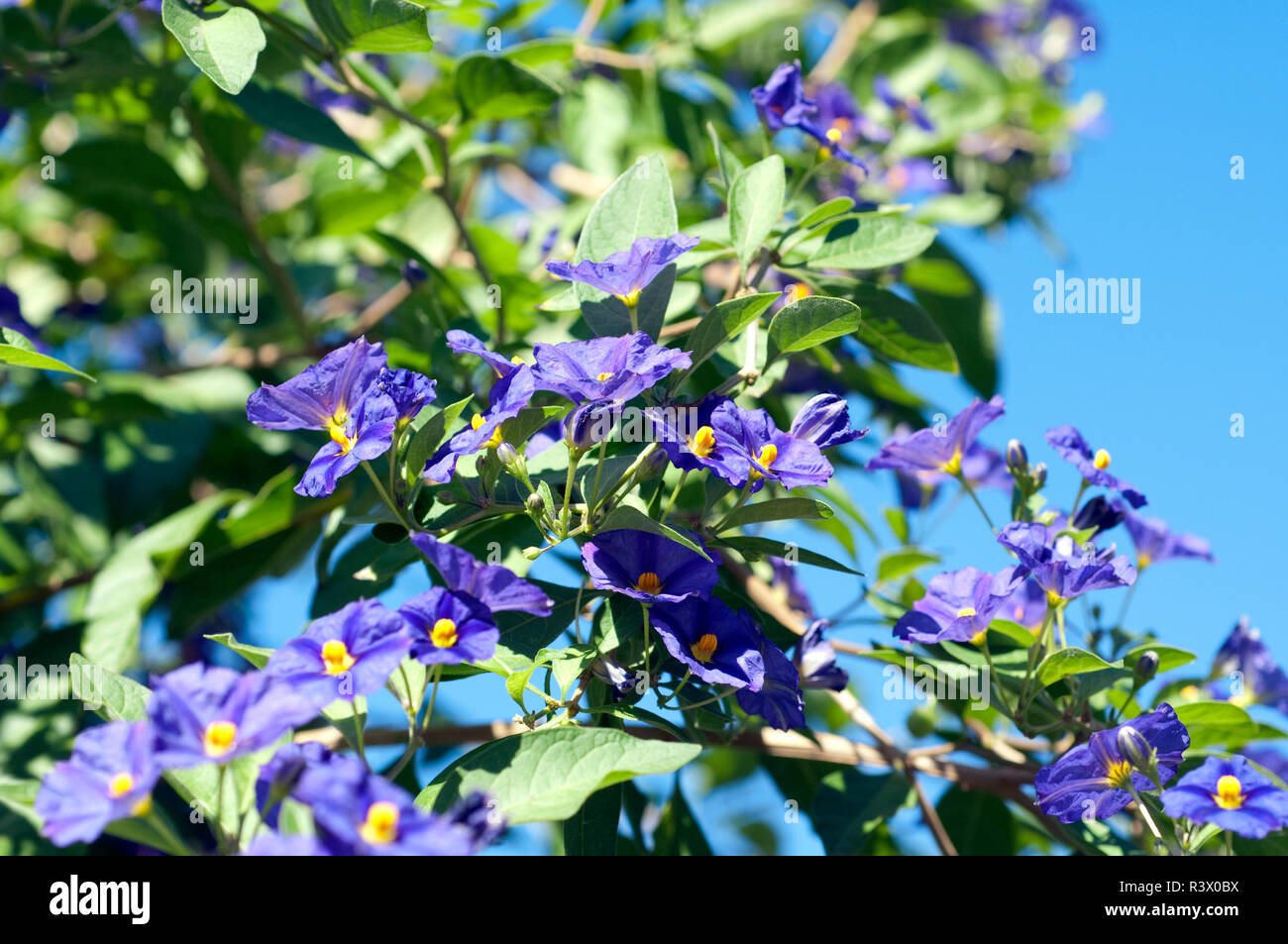 potato bush solanum,ratonettii,enzian bush Stock Photo