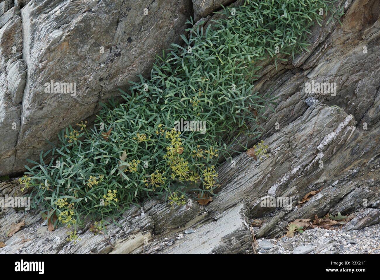 Crithmum maritimum (Rock Samphire) Stock Photo